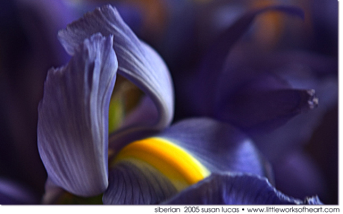 Art Photograph of Siberian Iris by Susan Lucas