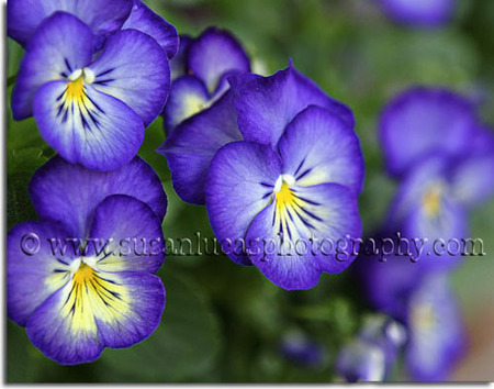 Pansy_Photograph_by_Susan_Lucas_Photographer