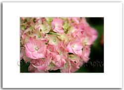 Pink Hydrangea by Photographer Susan Lucas